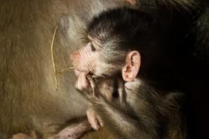 animal-zoo-ape-baboon