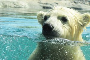 polar-bear-591646_1920 copy