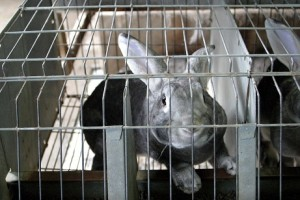 rabbit_caged