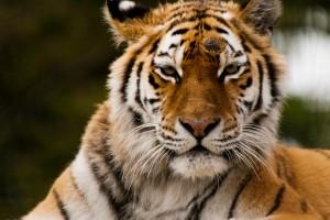wwarby_tiger copy