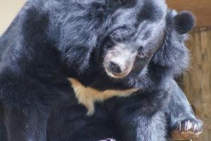 The Asiatic Black Bear, aka Moon Bear, Dudley Zoo