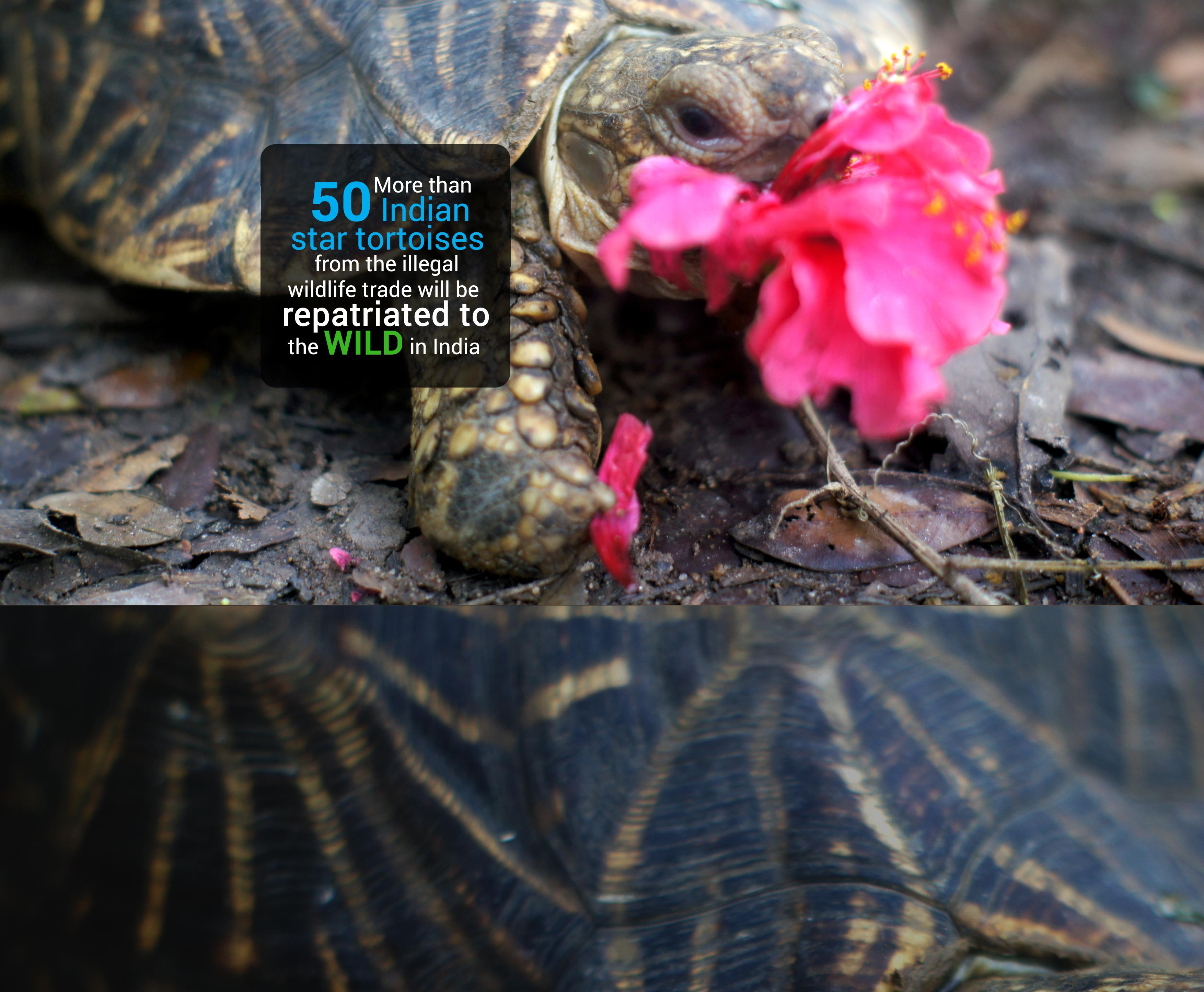 Star Tortoise Repatriation